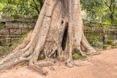 Ta Prohm templet fördärvar bevuxet med träd på Angkor, Siem Arkivbilder