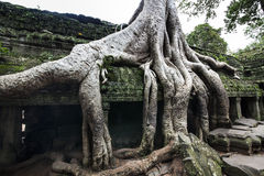 Ta Prohm (Tomb raider temple) at Angkor, Cambodia. UNESCO World Heritage Site. Royalty Free Stock Photos