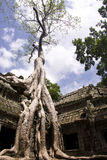 Ta Prohm Tree Stock Photography