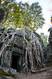 Ta Prohm. A tree grows over a temple in Ta Prohm Royalty Free Stock Image