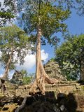 Ta Prohm the temple ruins overgrown with trees at Angkor Wat in Seam Reap City, Cambodia in 2012 , 9th December royalty free stock photography