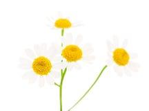 tła rumianku pola kwiatu zieleń Fotografia Stock