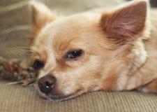 ta sig en tupplur för chihuahua Royaltyfri Fotografi