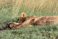 Ta sig en tupplur lejon Royaltyfria Bilder