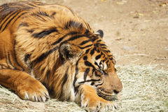 ta sig en tupplur tigern Arkivfoton