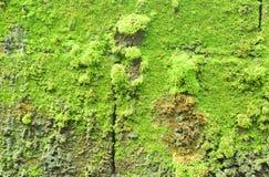 绿色Taacrgngm 免版税库存图片