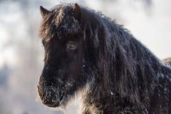 Taai en ruw Ijslands paard royalty-vrije stock afbeelding