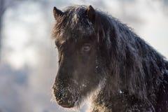 Taai Ijslands paard in het bevriezen van de winter stock foto's