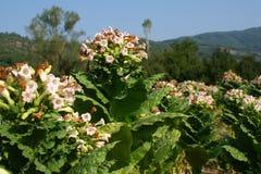 Tabac de floraison photos libres de droits