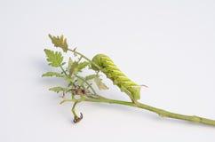 Tabac Hornworm sur la tige de plante de tomate images stock
