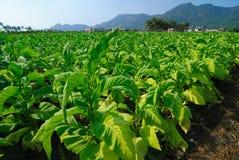 Tabacco Immagini Stock