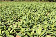 Tabacco che coltiva sulla Cuba Fotografia Stock Libera da Diritti
