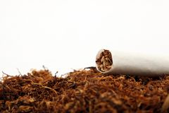 Tabacco crop Royalty Free Stock Photo