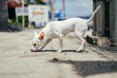 Tabacco da fiuto bianco del cane della chihuahua sulla terra nell'ambito di luce solare Immagini Stock Libere da Diritti
