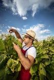 Tabacco dell'agricoltore Immagine Stock