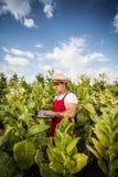 Tabacco dell'agricoltore Fotografia Stock