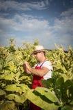 Tabacco dell'agricoltore Fotografia Stock Libera da Diritti