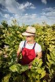 Tabacco dell'agricoltore Immagini Stock