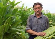 Tabacco della raccolta del coltivatore fotografia stock libera da diritti