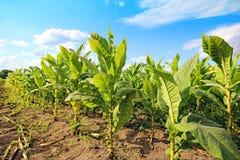 Tabacco fält fotografering för bildbyråer