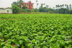 Tabacco farm in chiayi, taiwan Royalty Free Stock Images