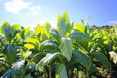 Tabacco-Feld Stockbilder