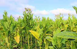 Tabacco field Stock Image