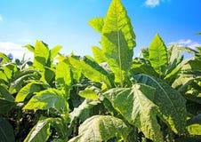 Tabacco field Stock Photo