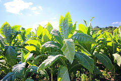 Tabacco field Stock Images