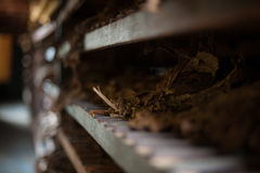 Tobacco Harvest. Sorting tobacco in a factory, Havana, Cuba.  This is one of many stages of the leading export inHavana Cuba, tobacco Stock Images