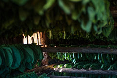 Tobacco Harvest. Working the tobacco fields in Havana, Cuba.  This many stages of the leading export of Havana Cuba, tobacco Royalty Free Stock Photo