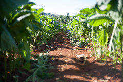 Tabacco Harvest Stock Photo