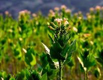 Tabacco växt arkivfoton