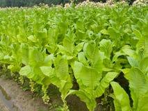 Tabaco 1 Imagenes de archivo