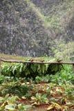 Tabaco cubano Fotos de archivo libres de regalías