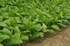 Tabaco cultivado 07 fotografia de stock royalty free
