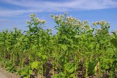 Tabaco cultivado 12 fotografia de stock royalty free