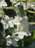 Tabaco dulce del jardín en los rayos del sol del verano tardío imagenes de archivo