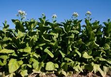 Tabaco em folhas brilhante com flores. Fotografia de Stock