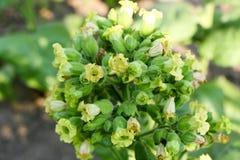 Tabaco floreciente, tabaco común del verde en troncos fuertes imágenes de archivo libres de regalías