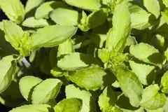Tabaco indiano Imagem de Stock Royalty Free