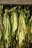 Tabaco secado Fotos de archivo