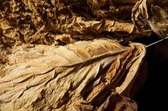 Tabaco seco Foto de archivo libre de regalías