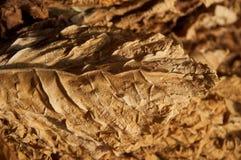 Tabaco seco Imagen de archivo libre de regalías