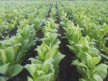 Tabaco verde Fotos de Stock Royalty Free