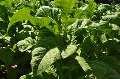 Tabacum cultivado de la nicociana del tabaco; Fotos de archivo