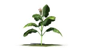 Tabaczna roślina Zdjęcie Royalty Free