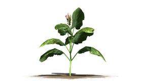 Tabaczna roślina Zdjęcie Stock