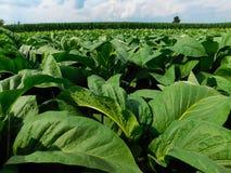 Tabaczne rośliny z kukurydzanym polem w tle obraz royalty free