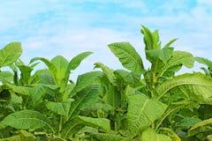 Tabaczne rośliny Obraz Royalty Free